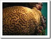 Koral mózg
