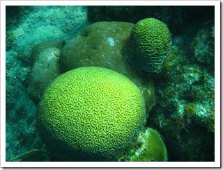 Piękne korale mózgi