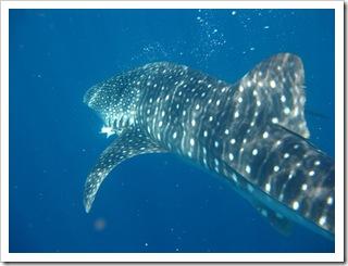 Rekin wielorybi w całej krasie