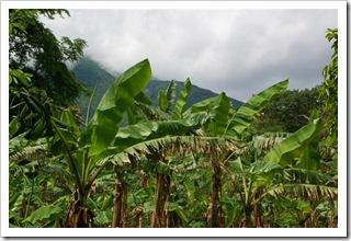 Bananowce pod wulkanem