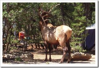 Pan Elk czyli jeleń