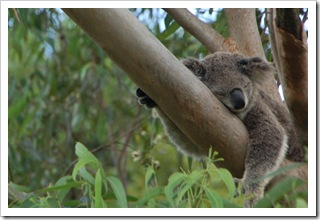 Koala na jaguarka