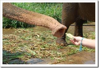 Instrukcja karmienia słoni